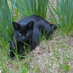 Black cat in daffodils