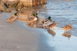 Birds-PatriciaCalder-32