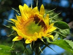 Flowers-Gardens-PatriciaCalder-14