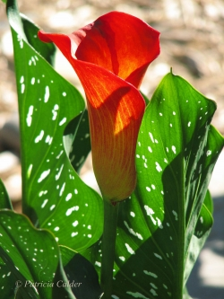 Flowers-Gardens-PatriciaCalder-15