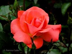 Flowers-Gardens-PatriciaCalder-27