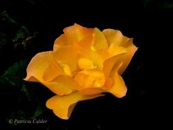 Flowers-Gardens-PatriciaCalder-28