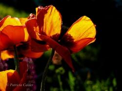 Flowers-Gardens-PatriciaCalder-4