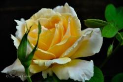 Flowers-Gardens-PatriciaCalder-8
