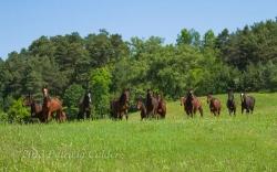 Horses-PatriciaCalder-31