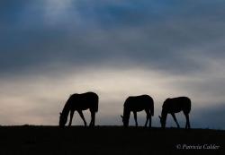 Horses-PatriciaCalder-42
