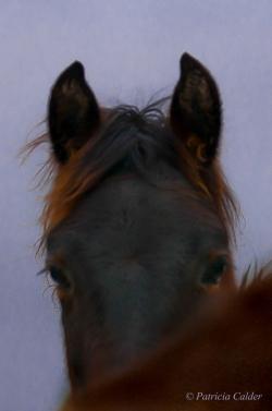 Horses-PatriciaCalder-43