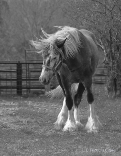 Horses-PatriciaCalder-56